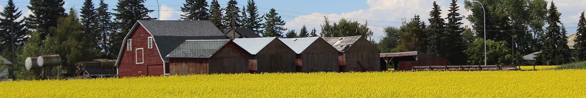 Bright yellow canola field with a red barn in the background